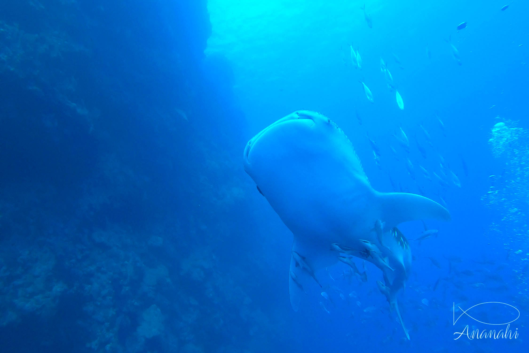 Whale shark of Egypt