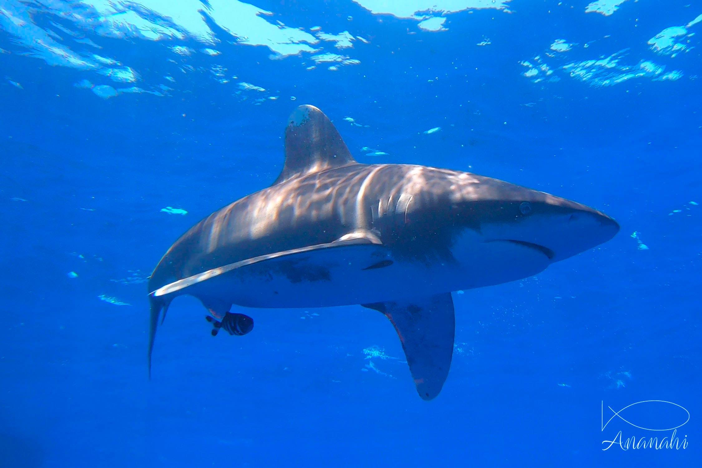 Oceanic whitetip shark of Egypt