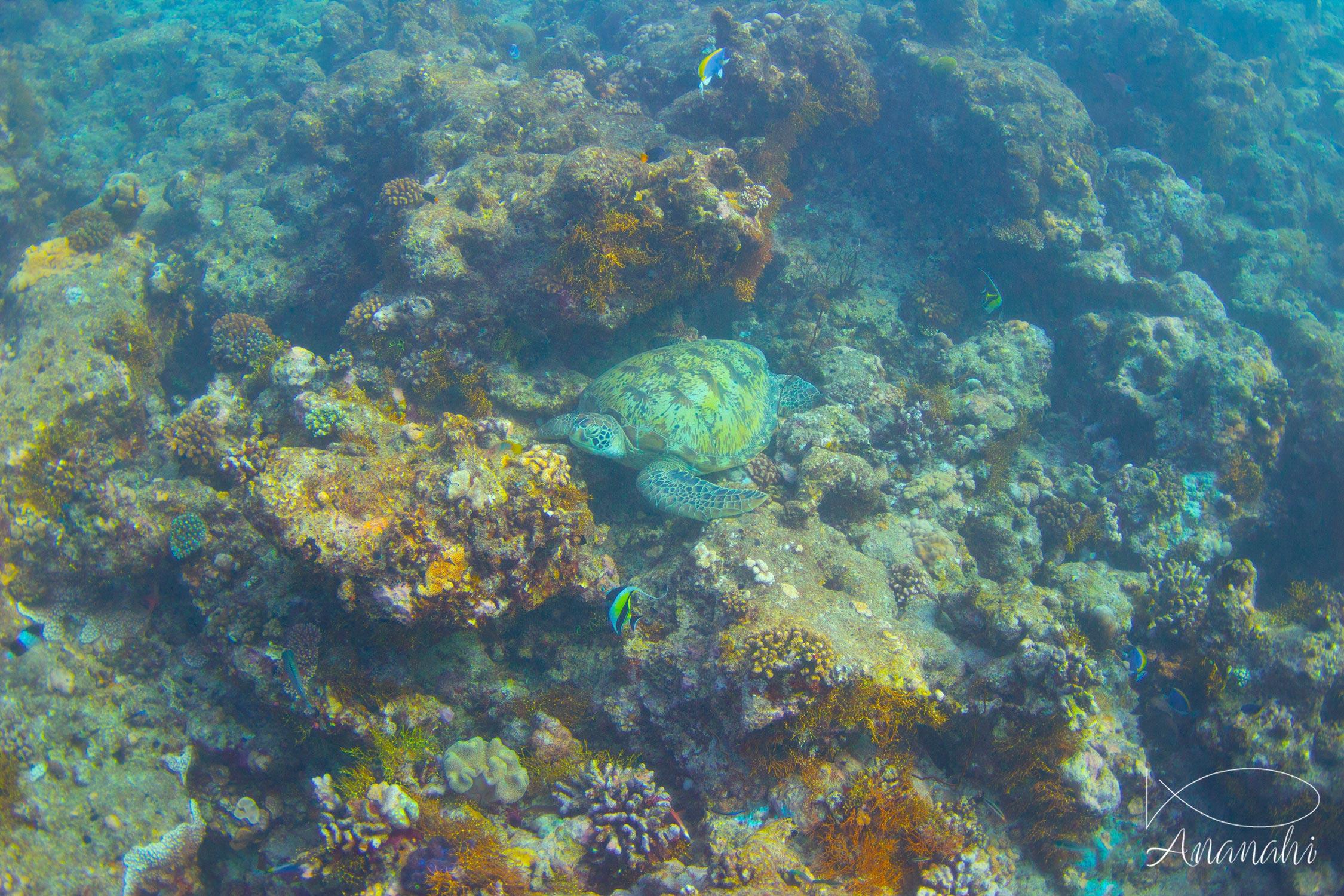Green sea turtle of Maldives