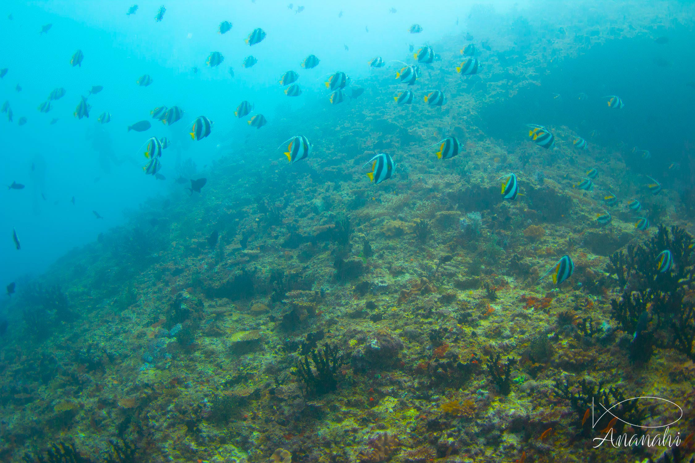 Schooling bannerfish of Maldives