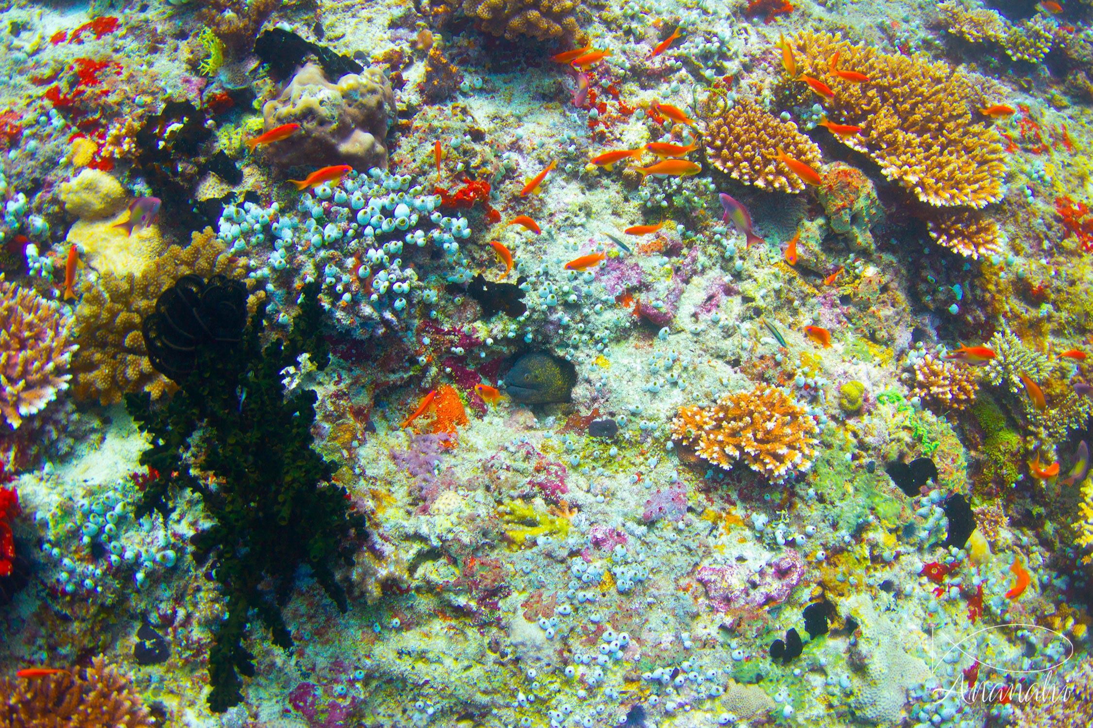 Yellow-edged moray of Maldives