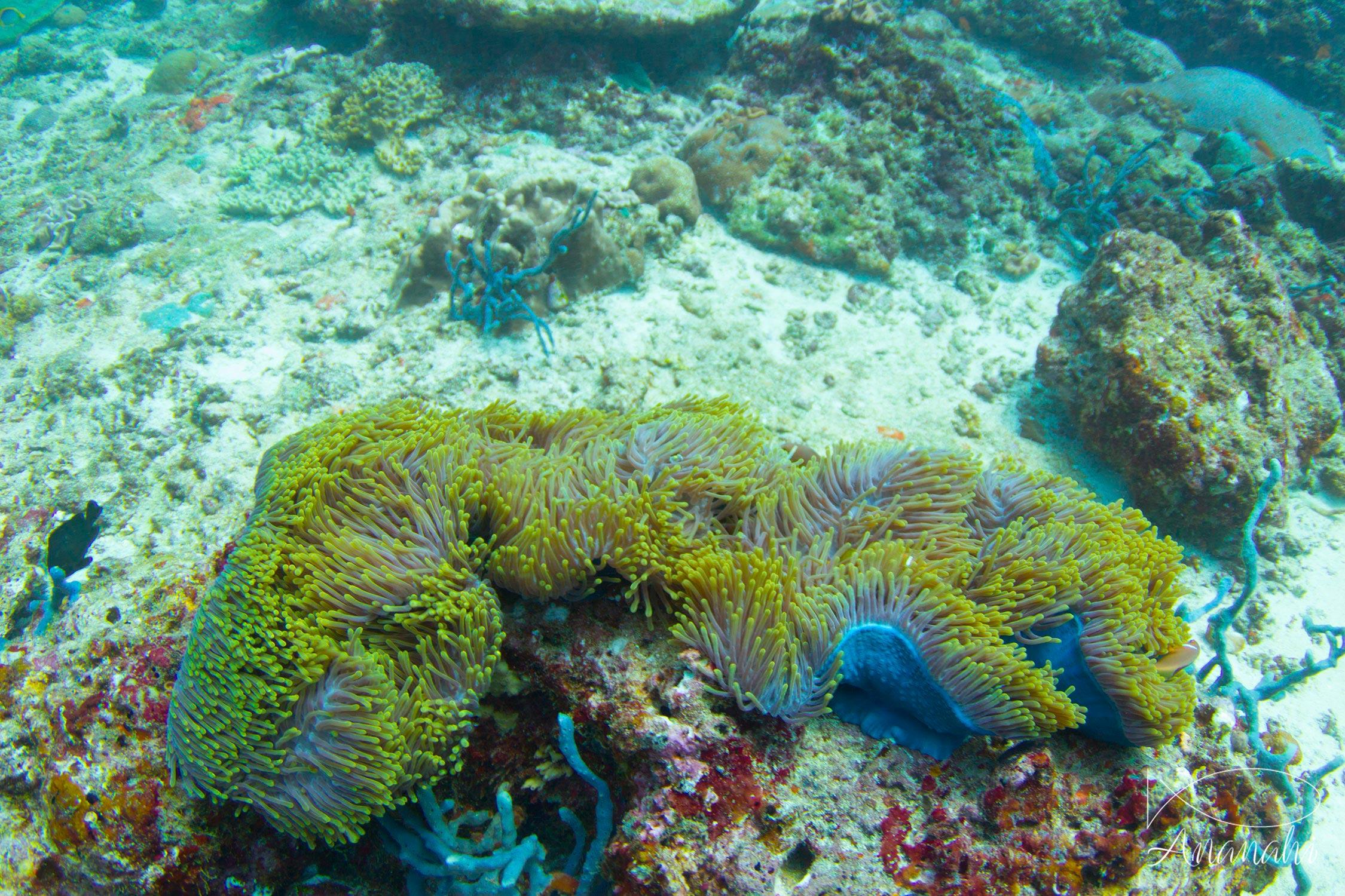 Magnificent sea anemone of Maldives