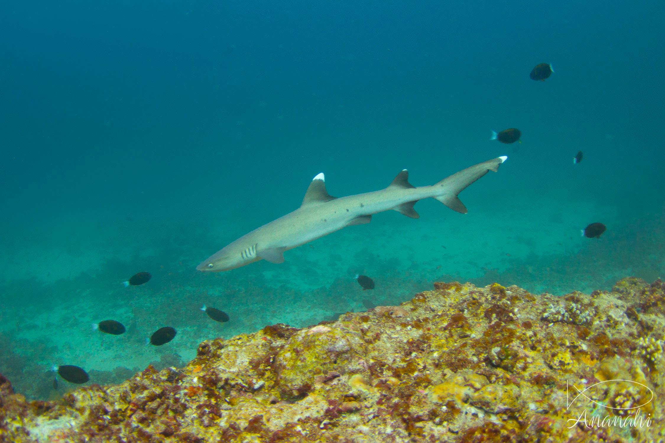 White tips reef shark of Maldives