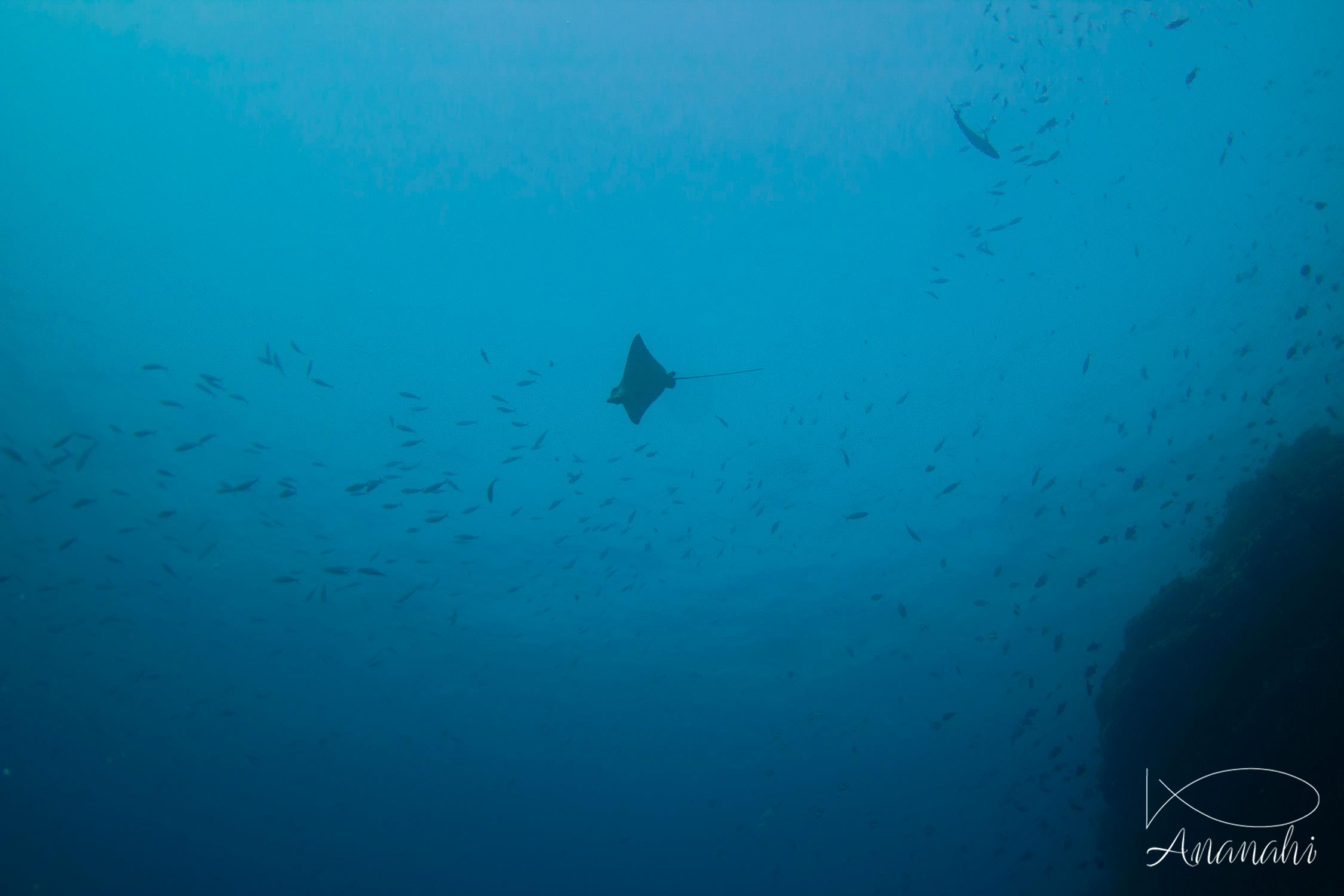 Spotted eagle ray of Maldives