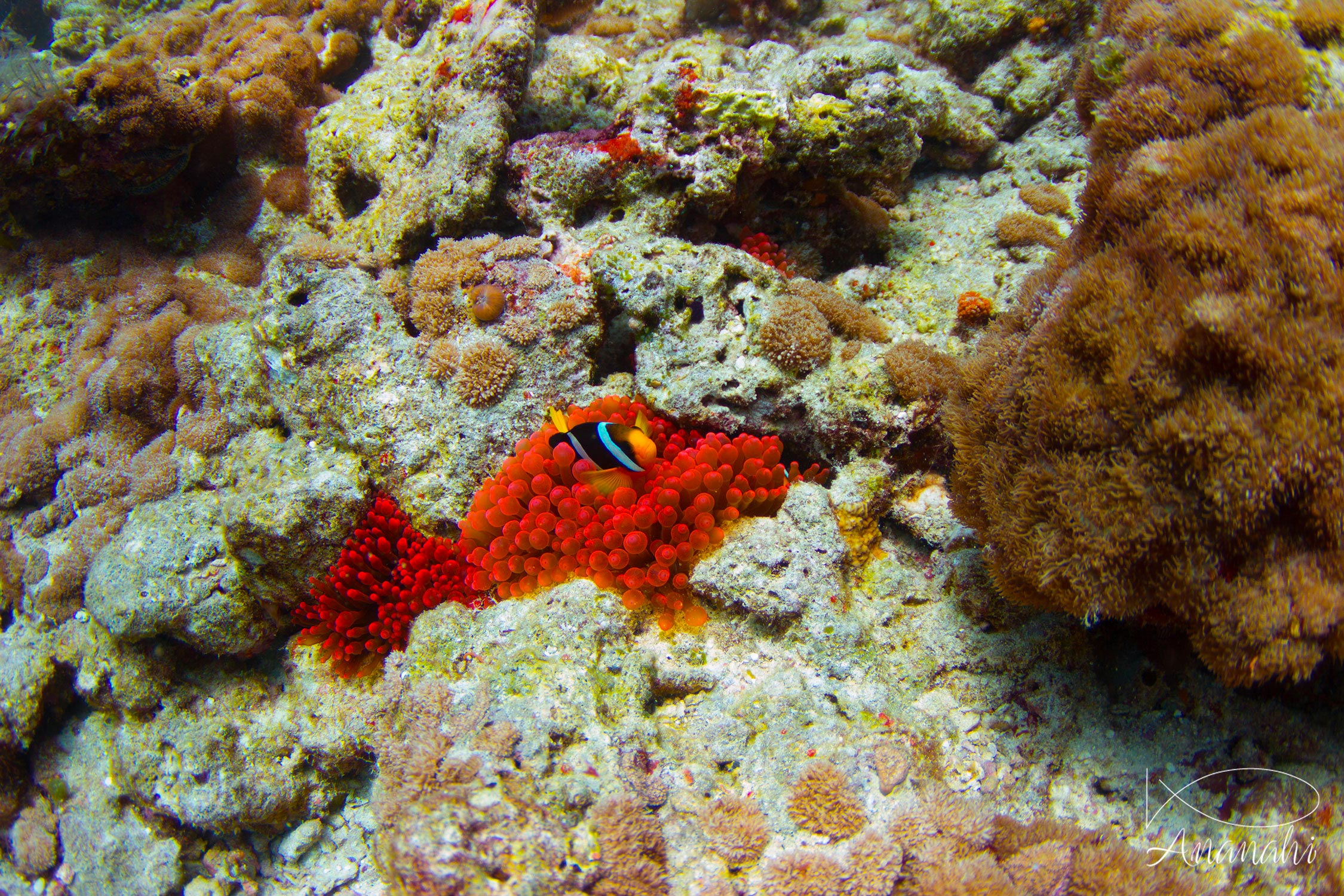 Bulb-tentacle sea anemone of Maldives