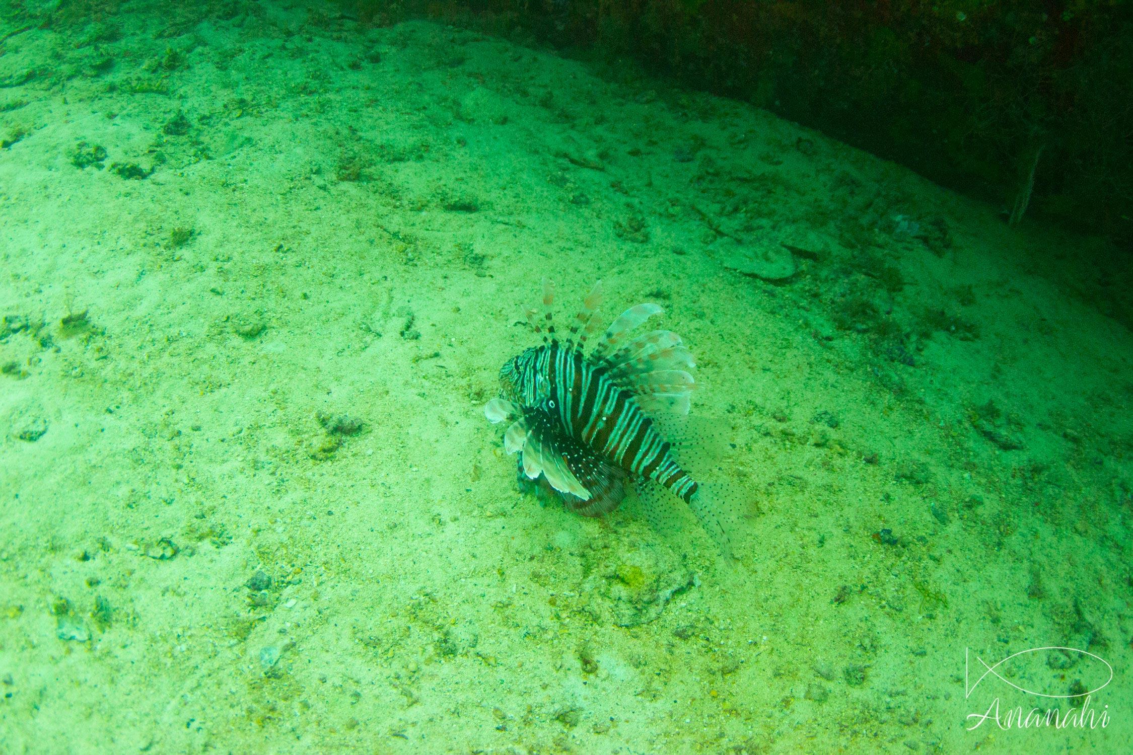 Common lionfish of Maldives