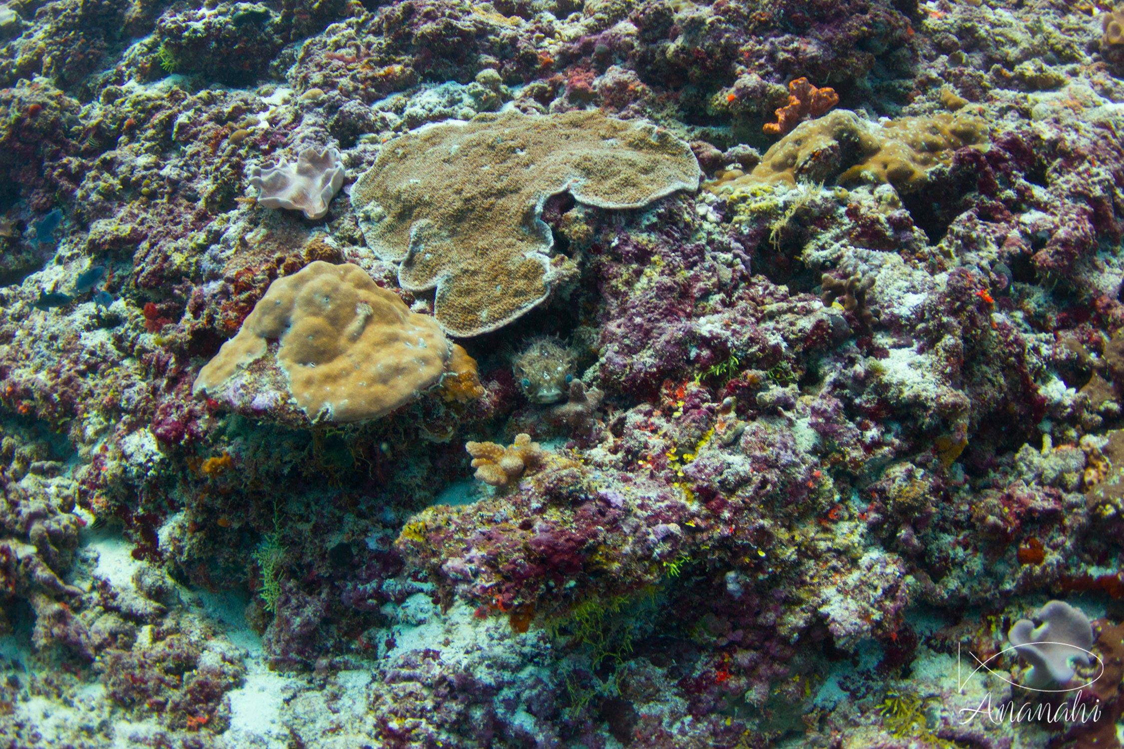 Brown porcupinefish of Maldives