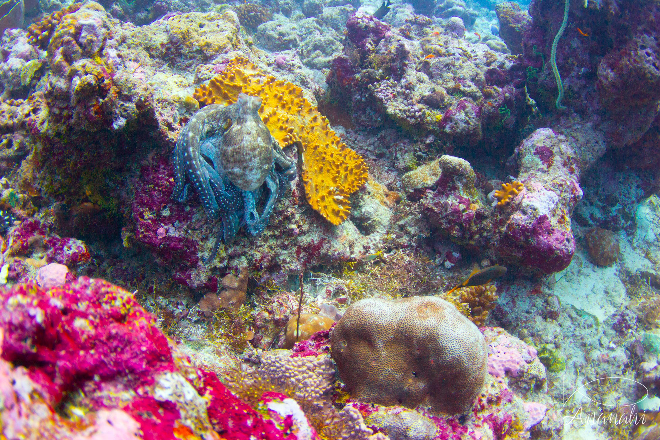 Common reef octopus of Maldives
