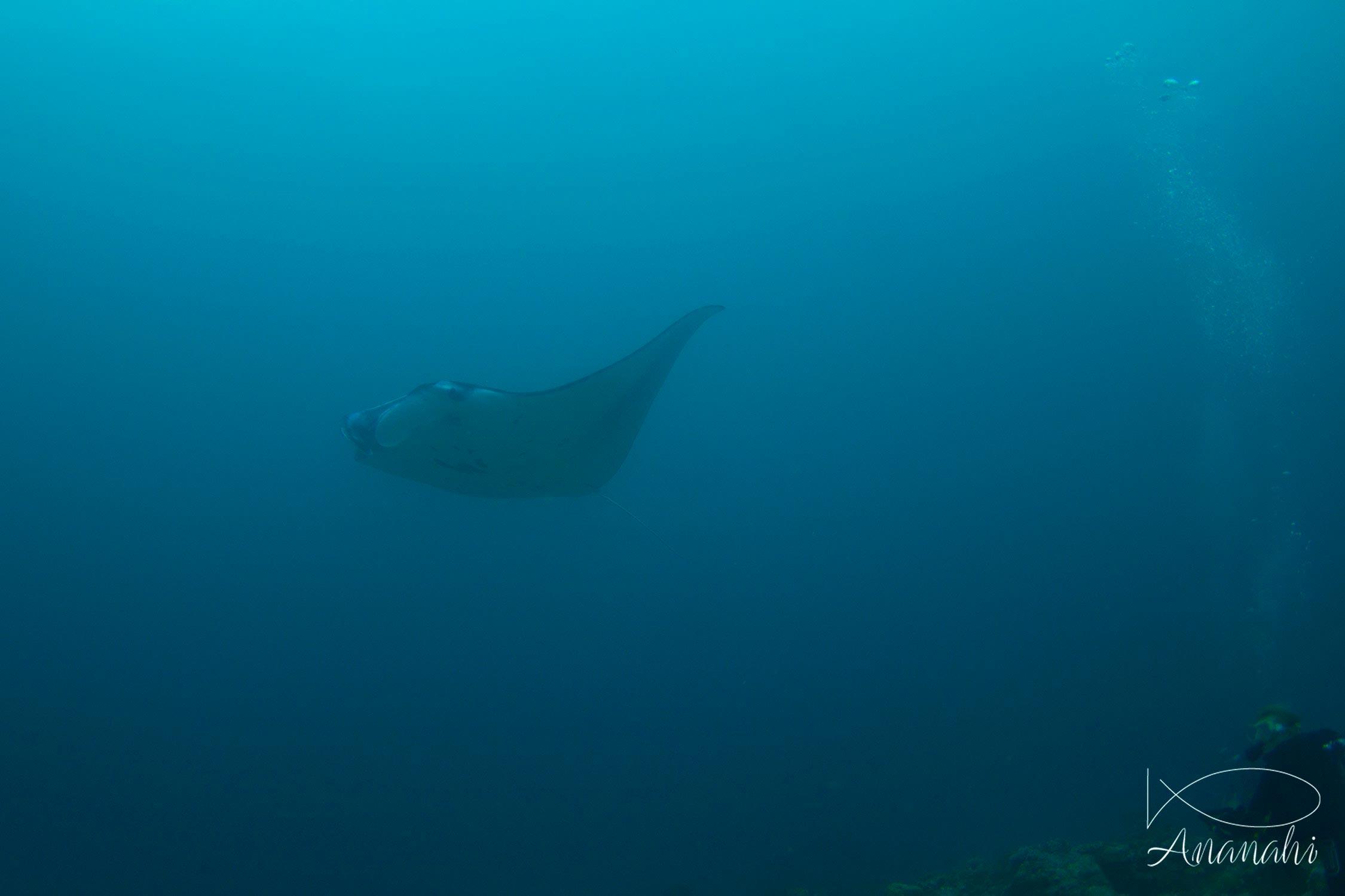 Manta ray of Maldives