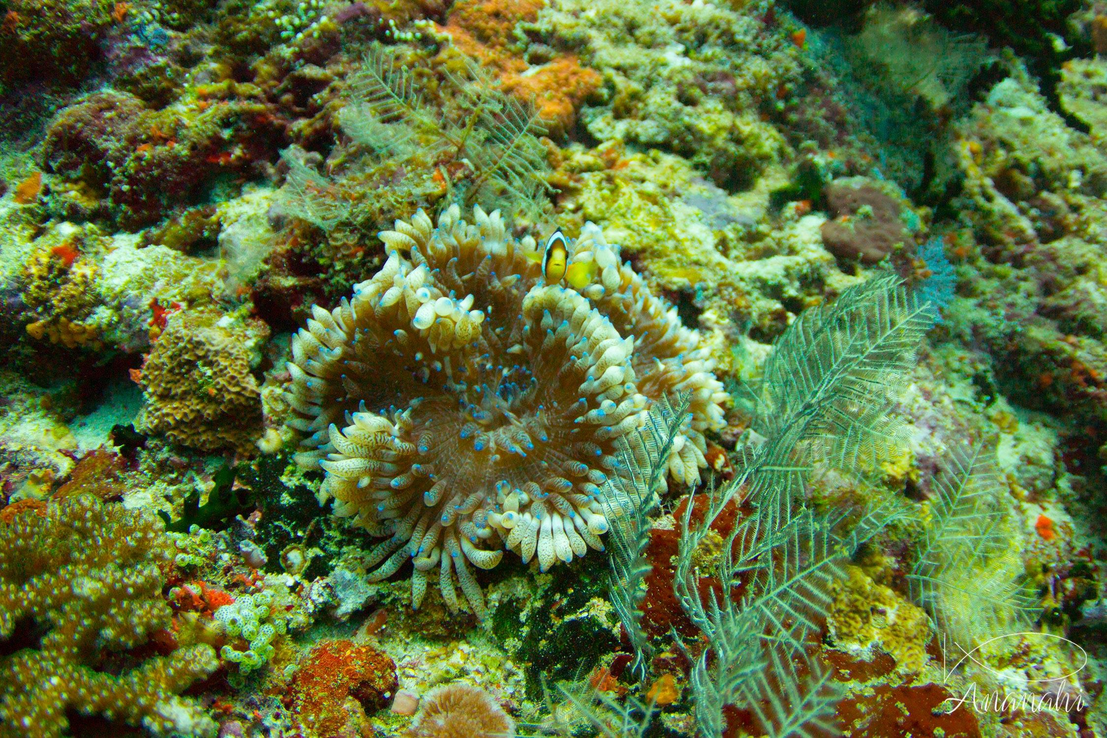 Leathery sea anemone of Maldives