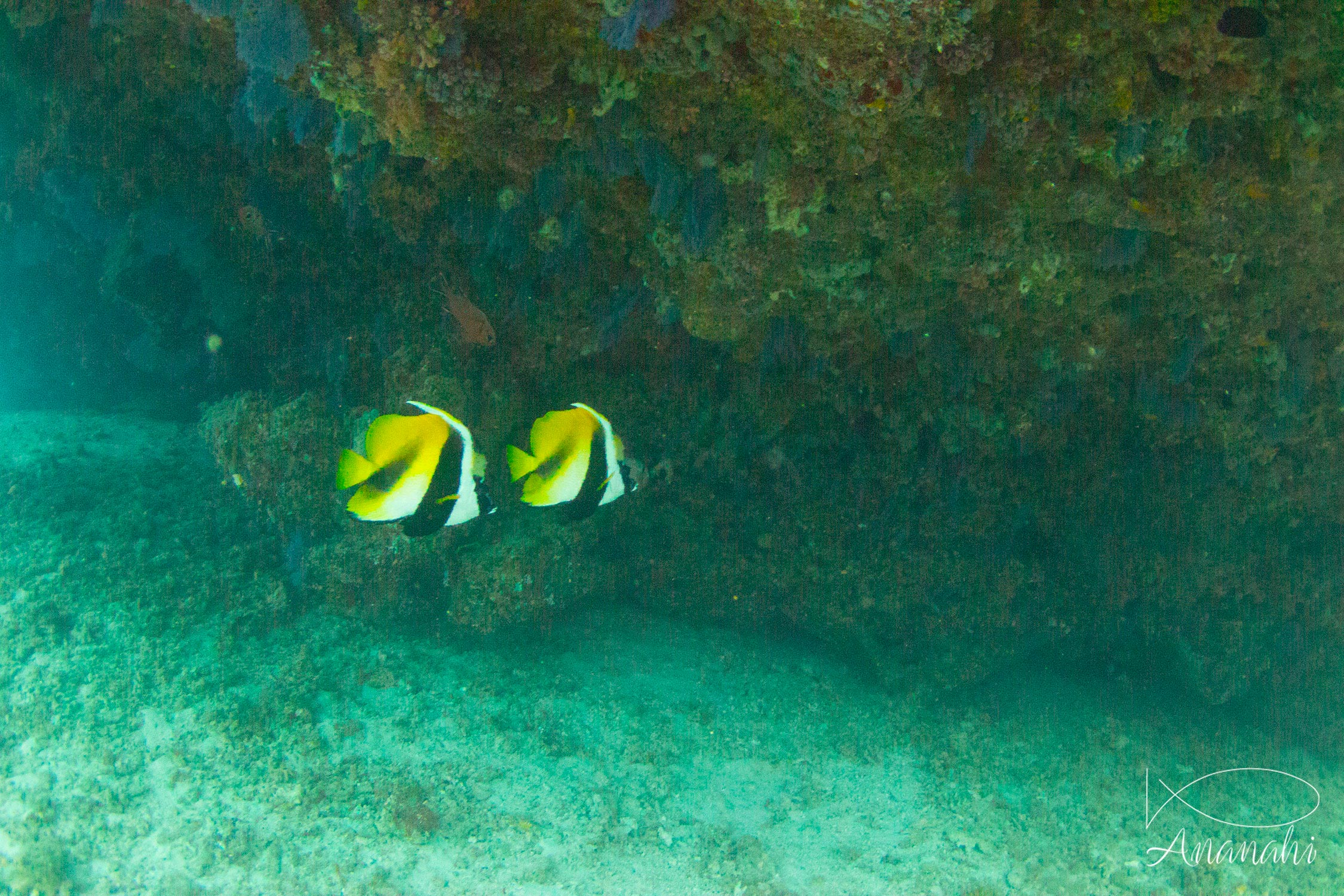 Masked bannerfish of Maldives