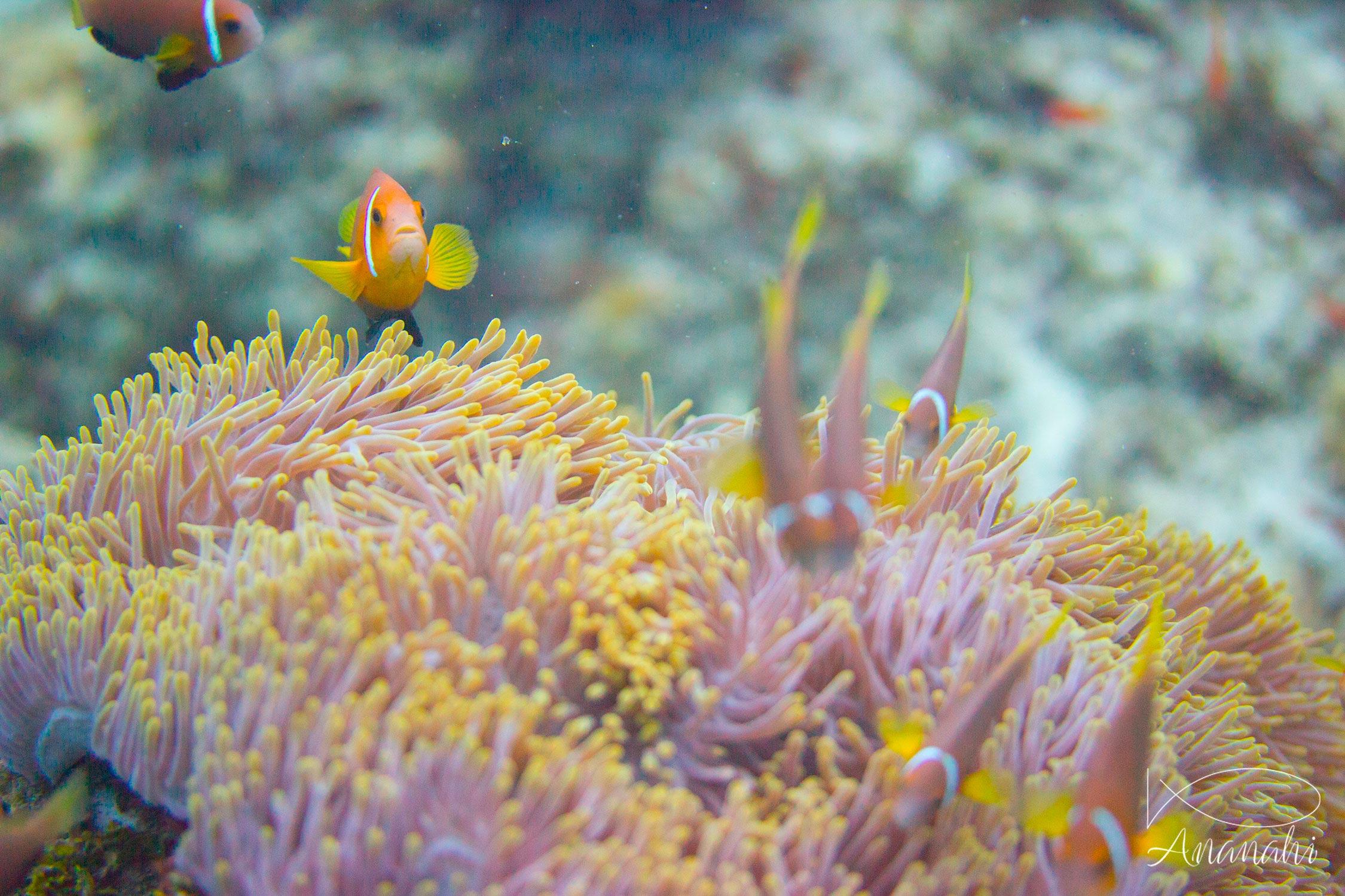 Blackfinned anemonefish of Maldives