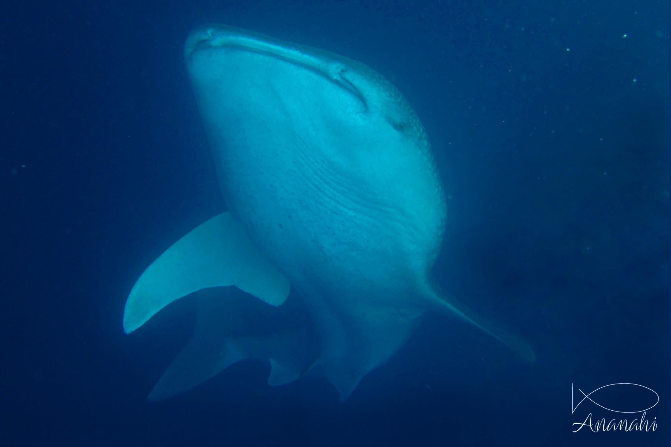 Whale shark of Maldives
