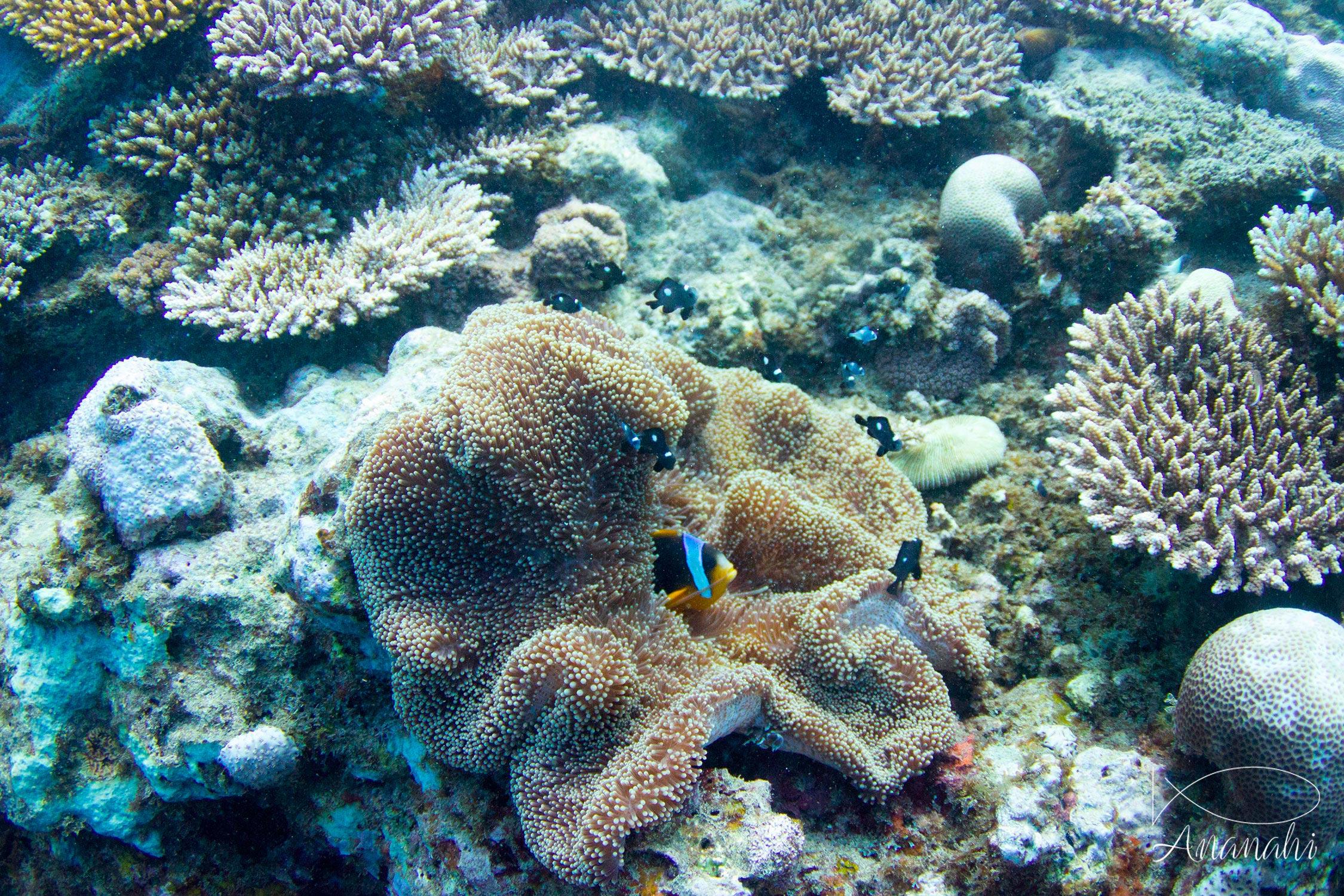 Madagascar anemonefish of Mayotte