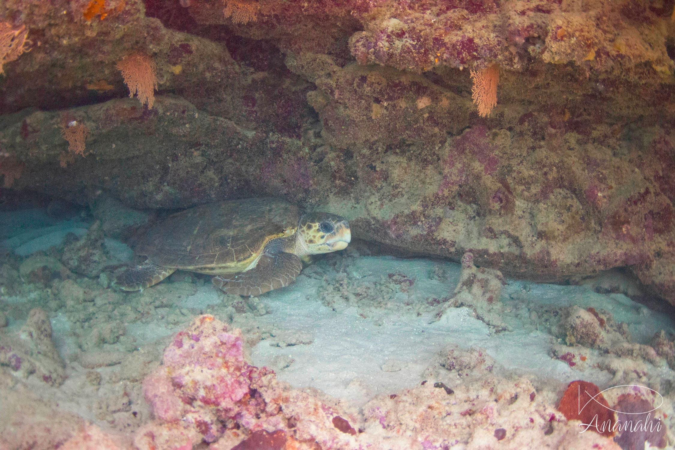 Loggerhead sea turtle of Mayotte