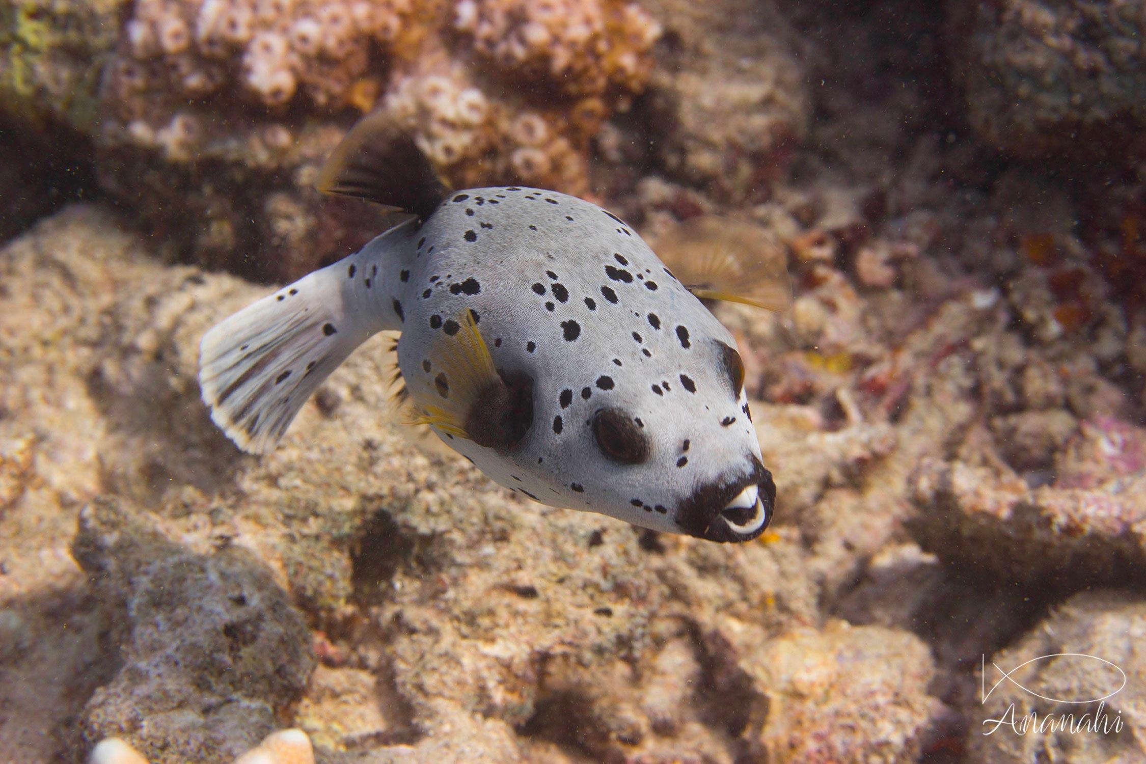 Blackspotted pufferfish of Mayotte