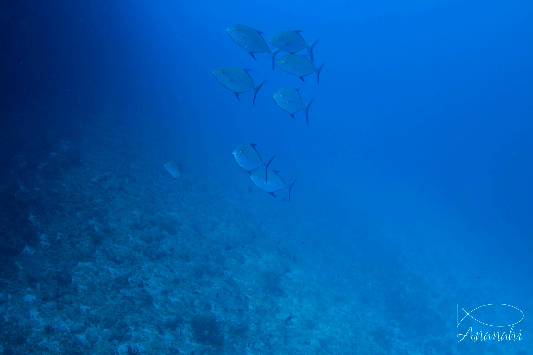 Bluefin trevally of Mayotte