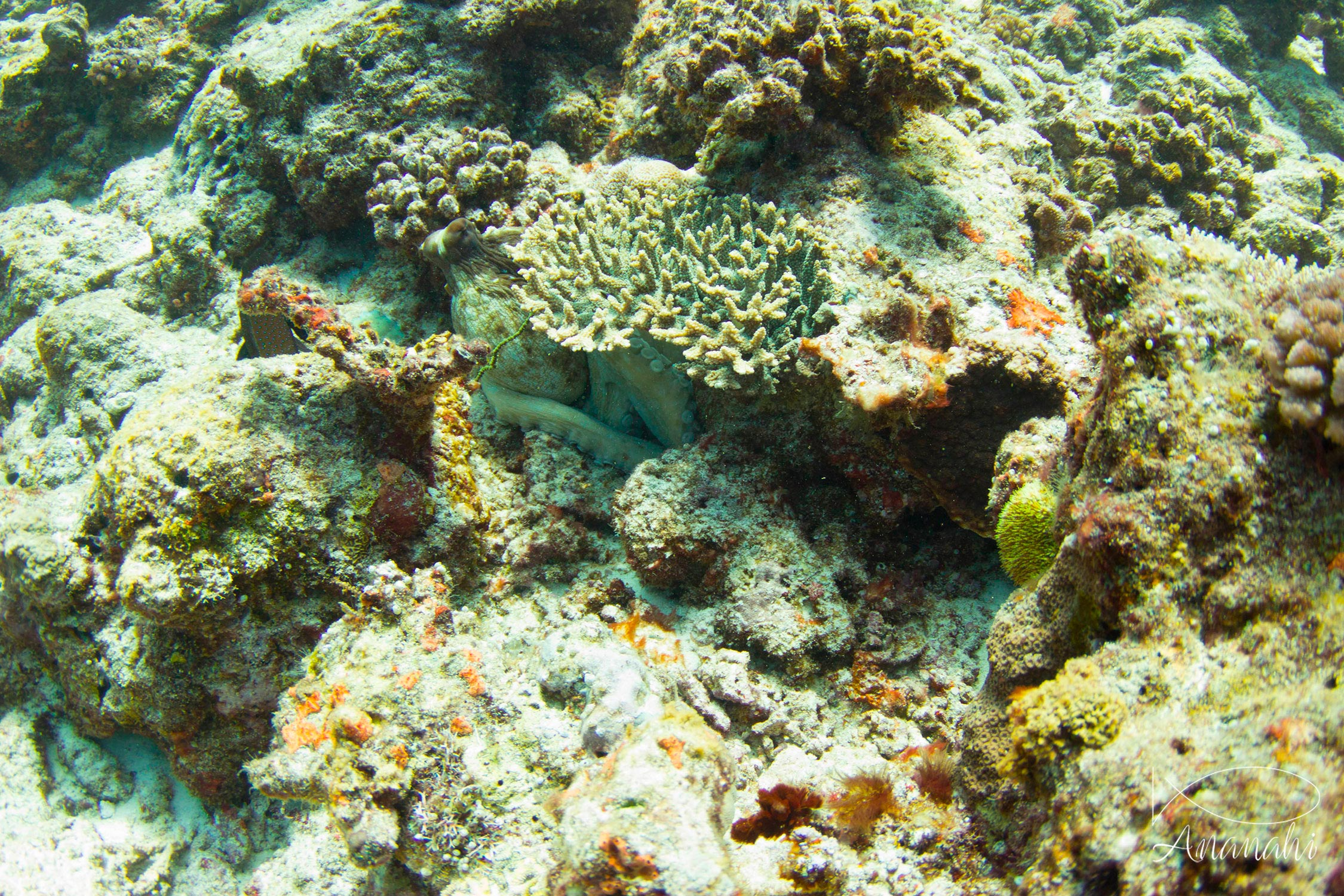 Common reef octopus of Mayotte