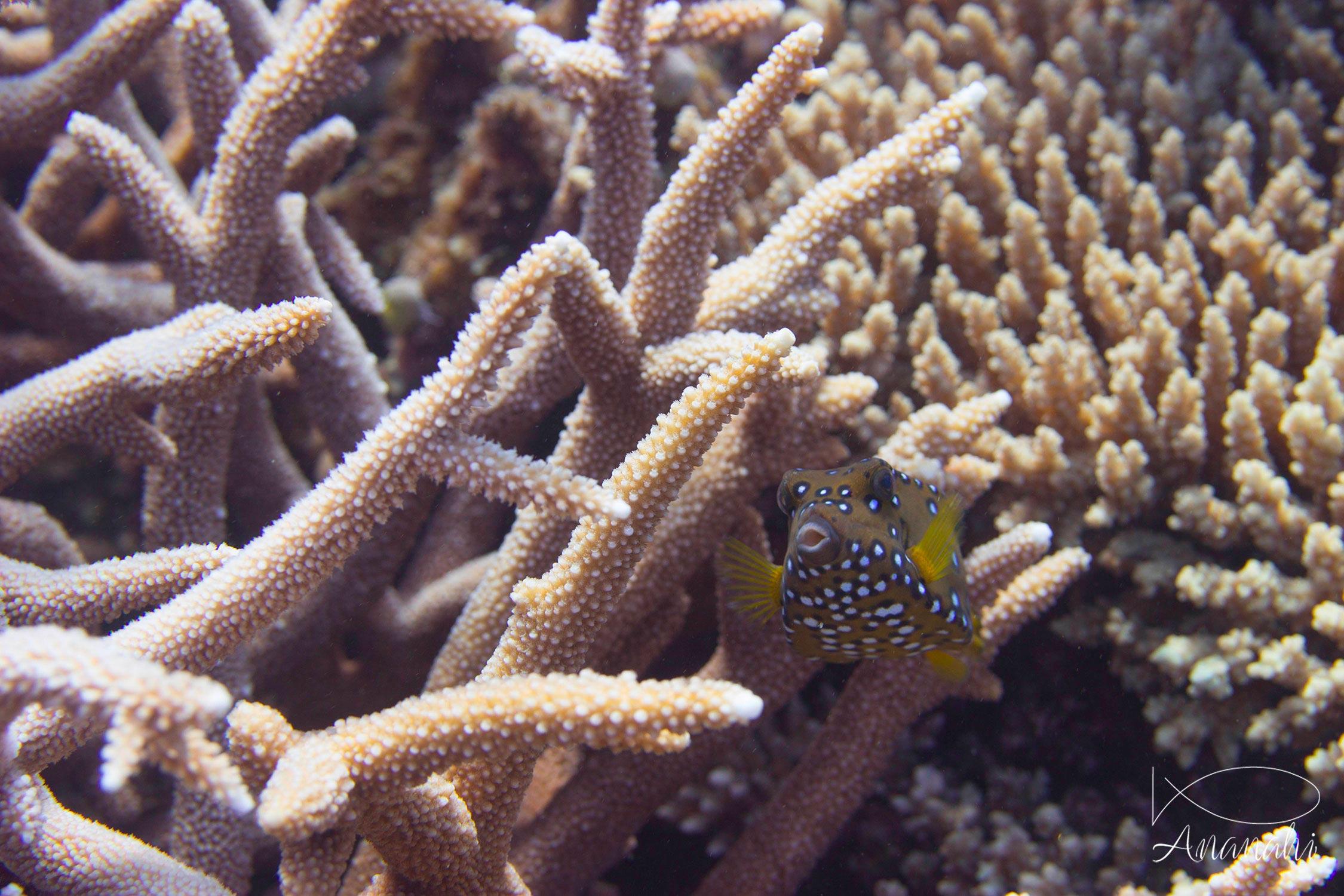 Yellow boxfish of Mayotte
