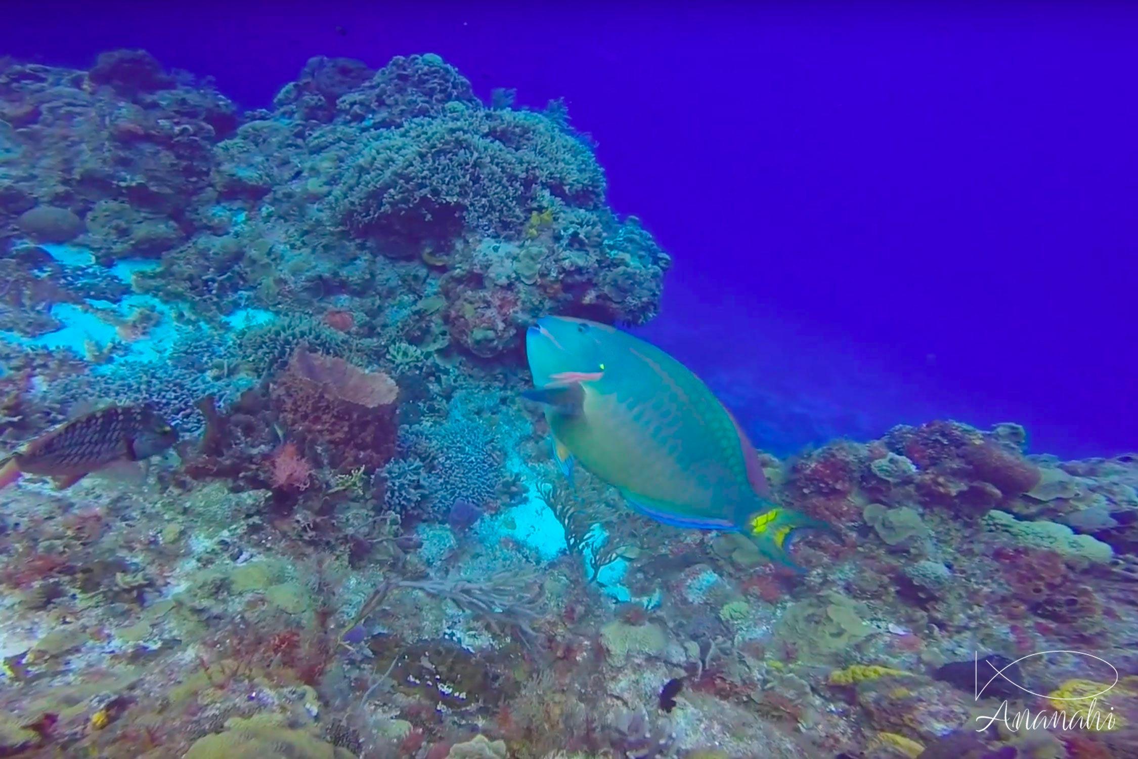 Common parrotfish of Mexico