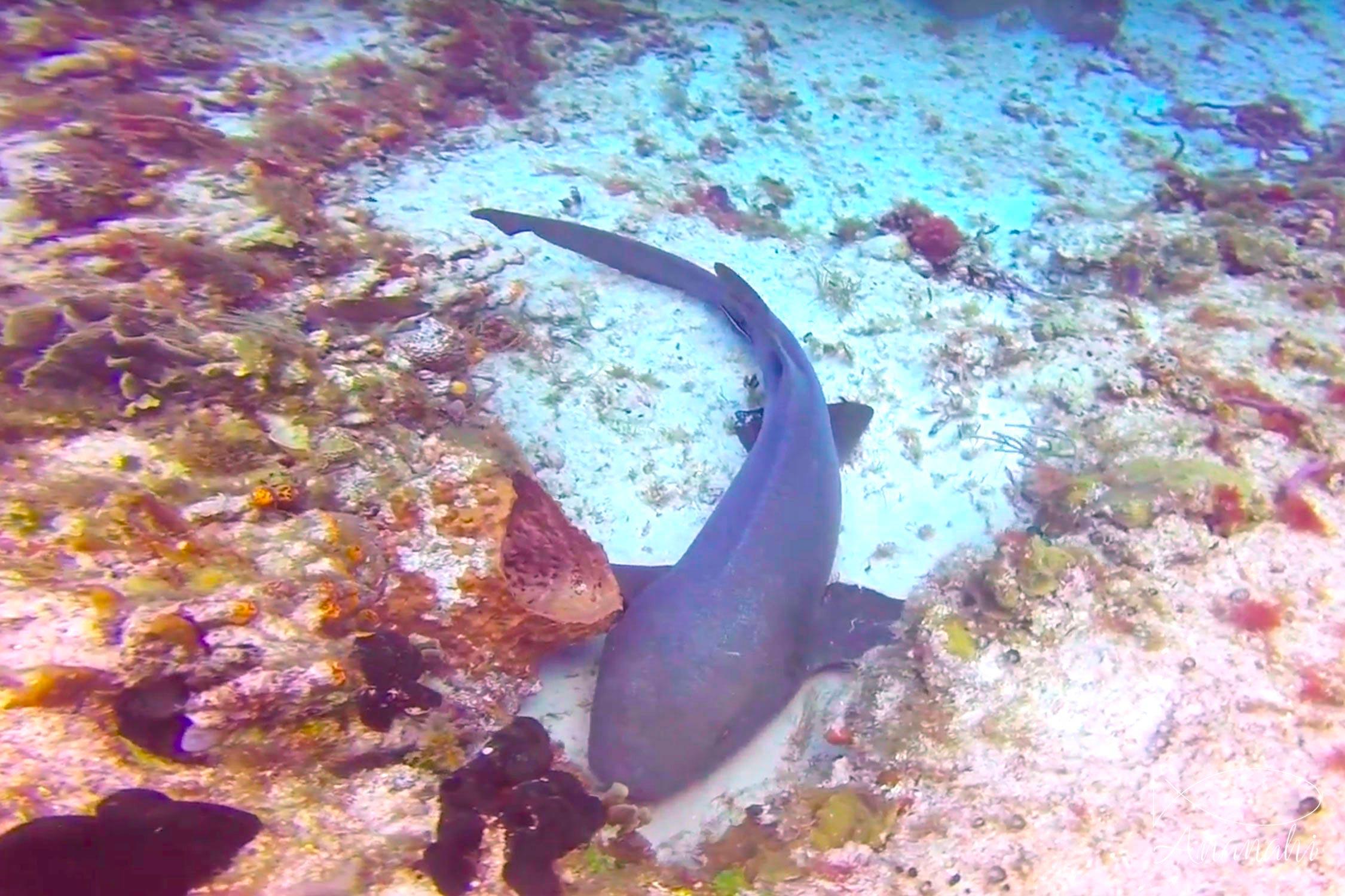 Tawny nurse shark of Mexico