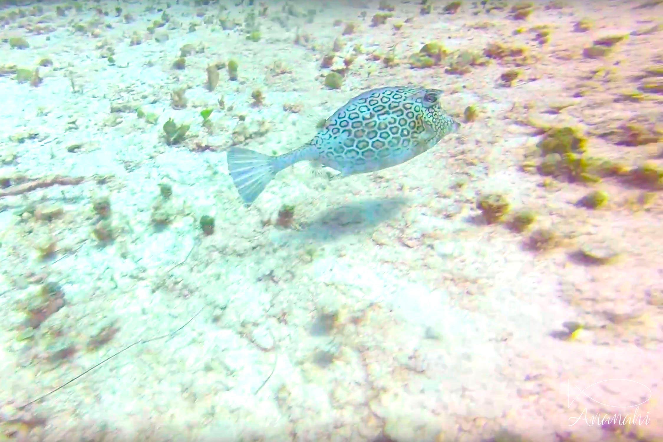 Honeycomb cowfish of Mexico