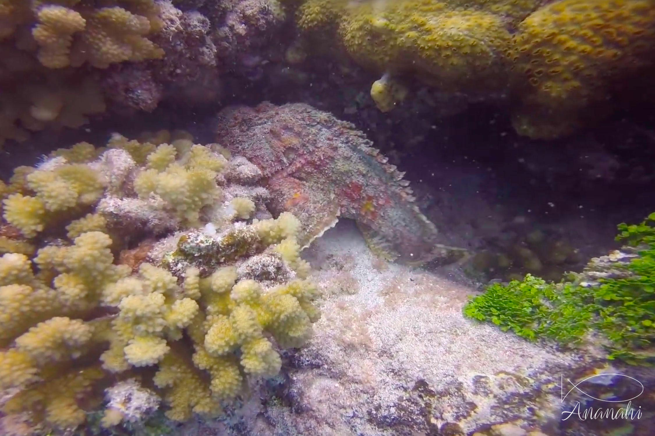Reef stonefish of French polynesia