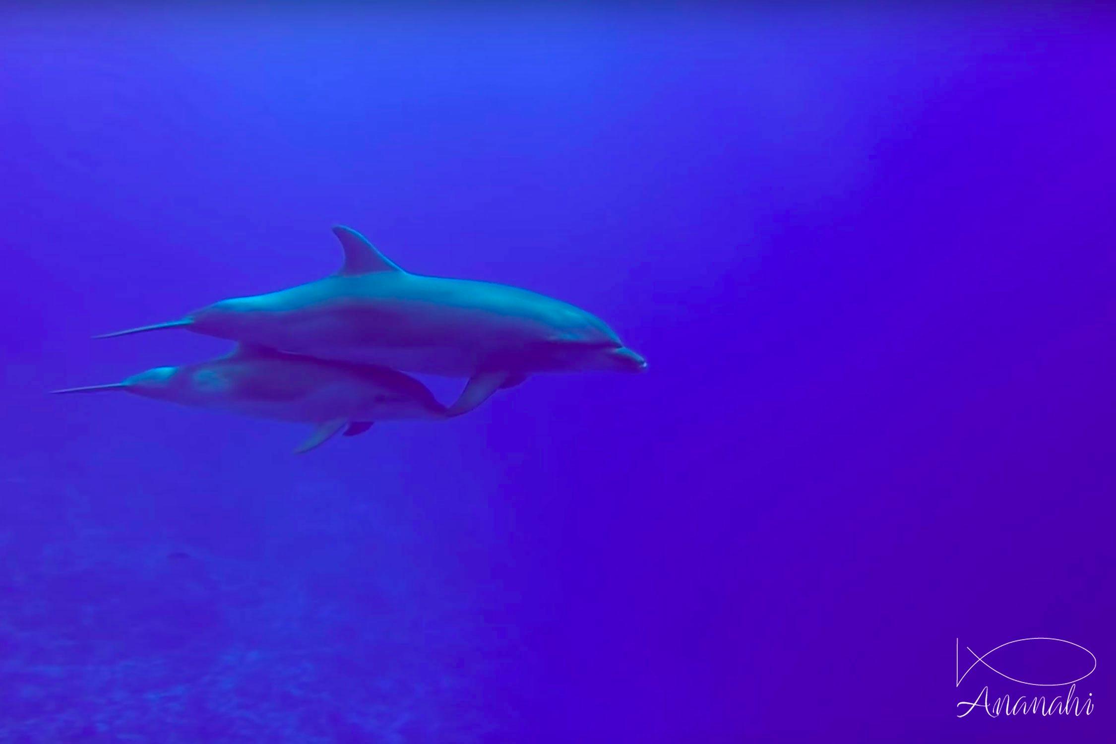 Bottlenose dolphin of French polynesia
