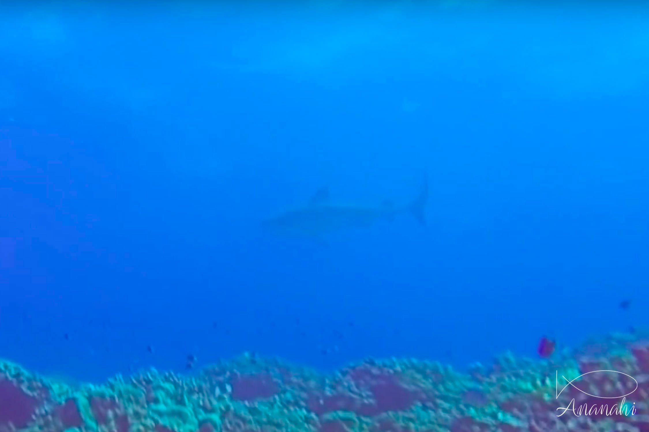 Tiger shark of French polynesia
