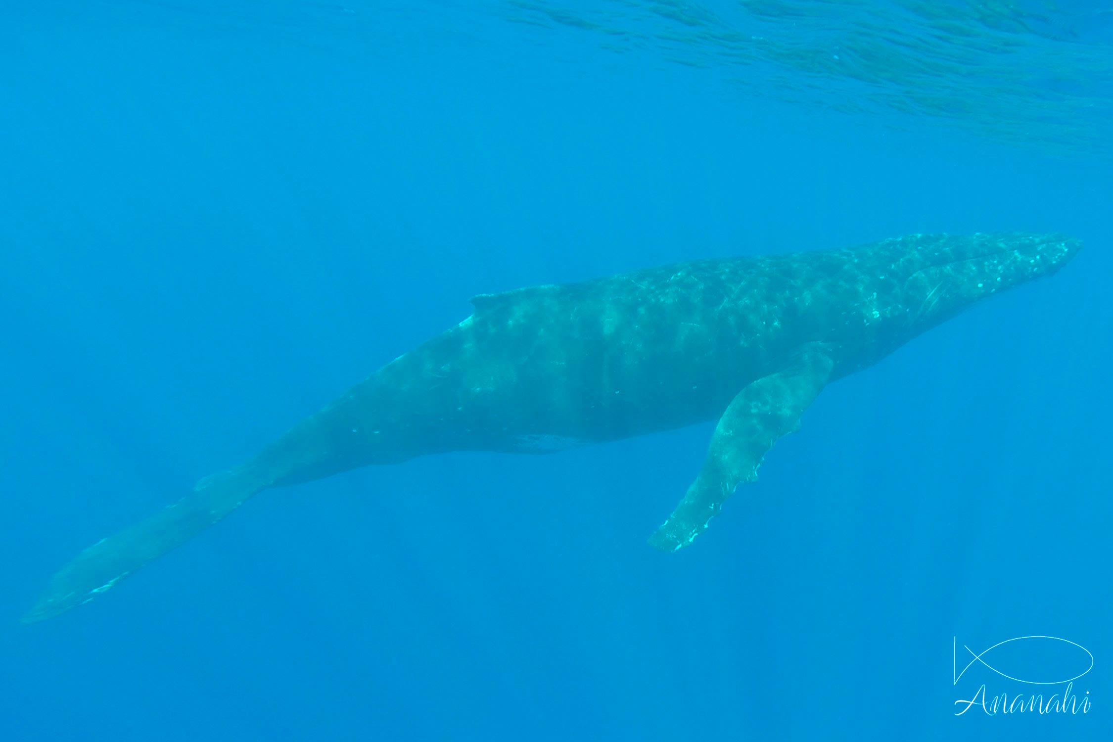 Humpback whale of French polynesia