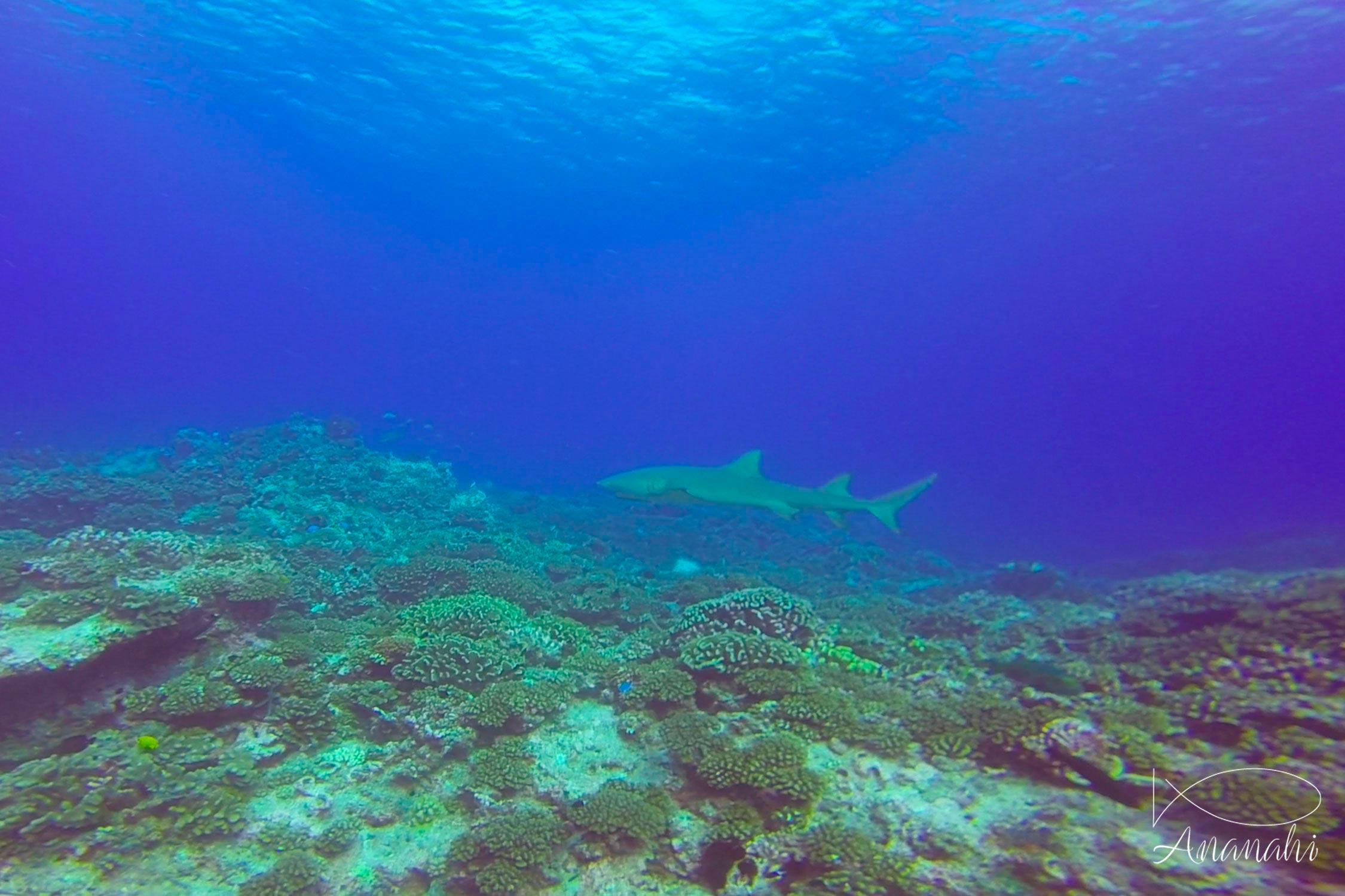 Lemon shark of French polynesia