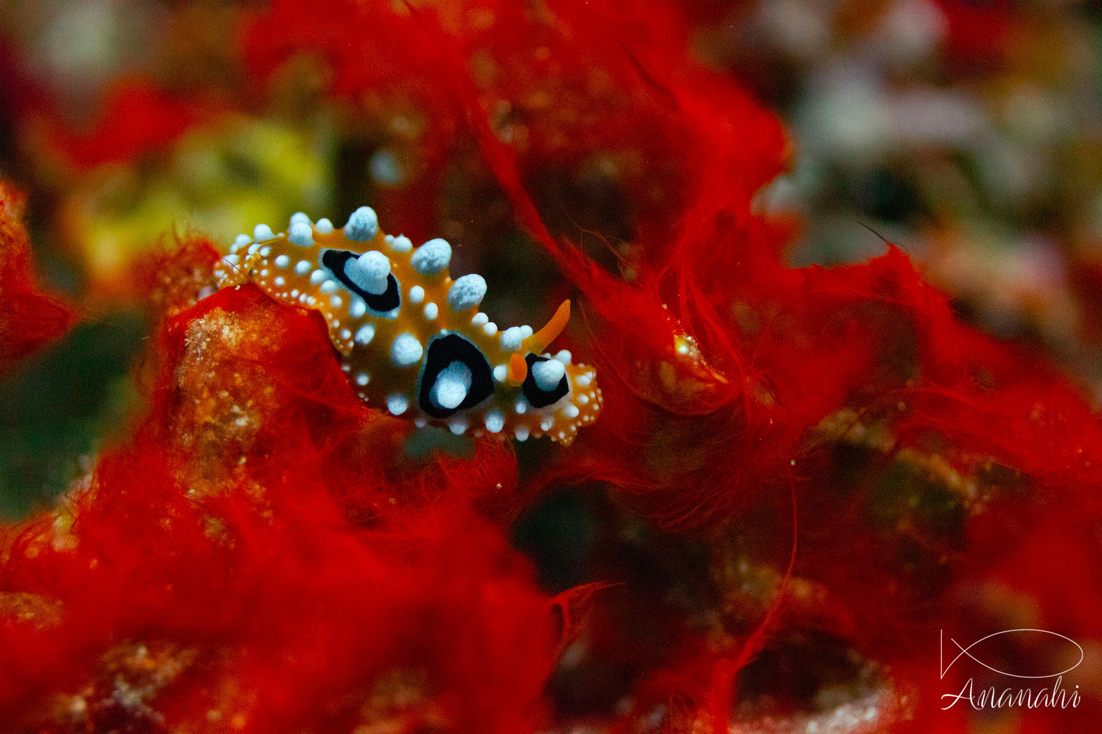 Ocellated phyllidia of Raja Ampat
