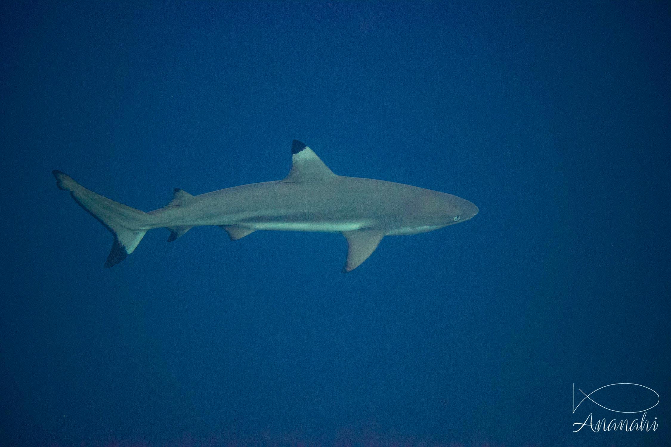 Blacktip reef shark of Raja Ampat