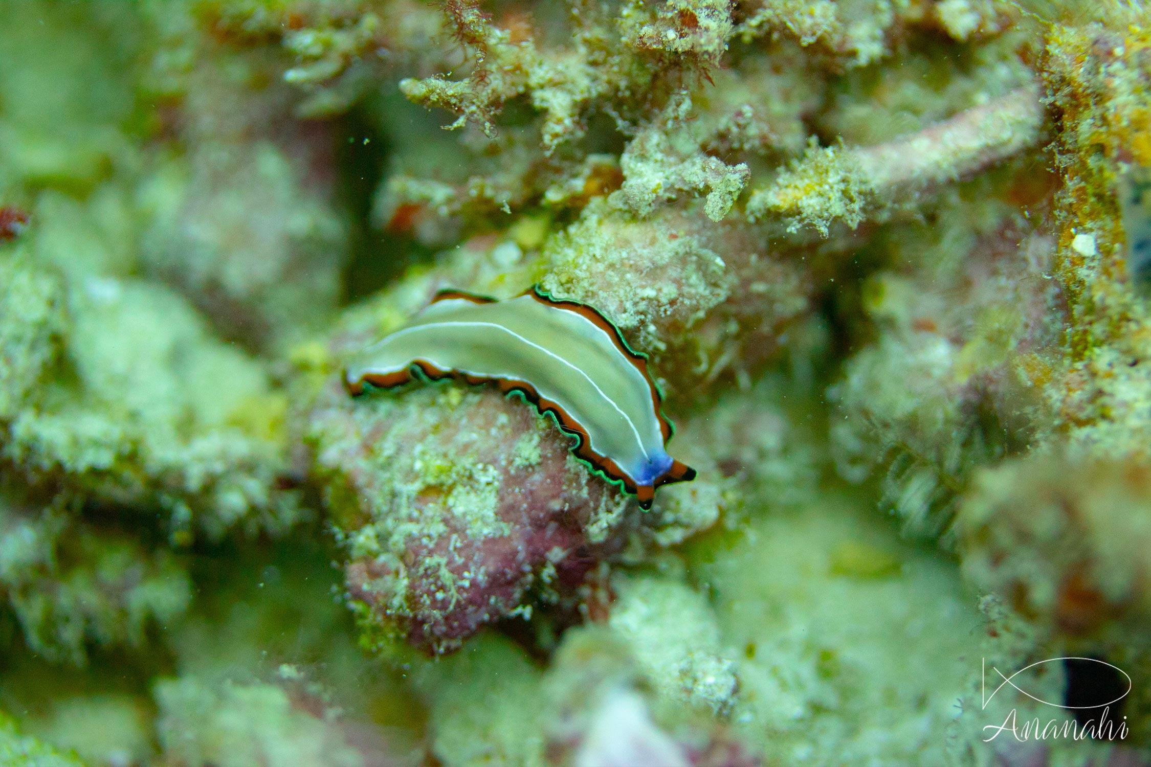 Bimargin flatworm of Raja Ampat