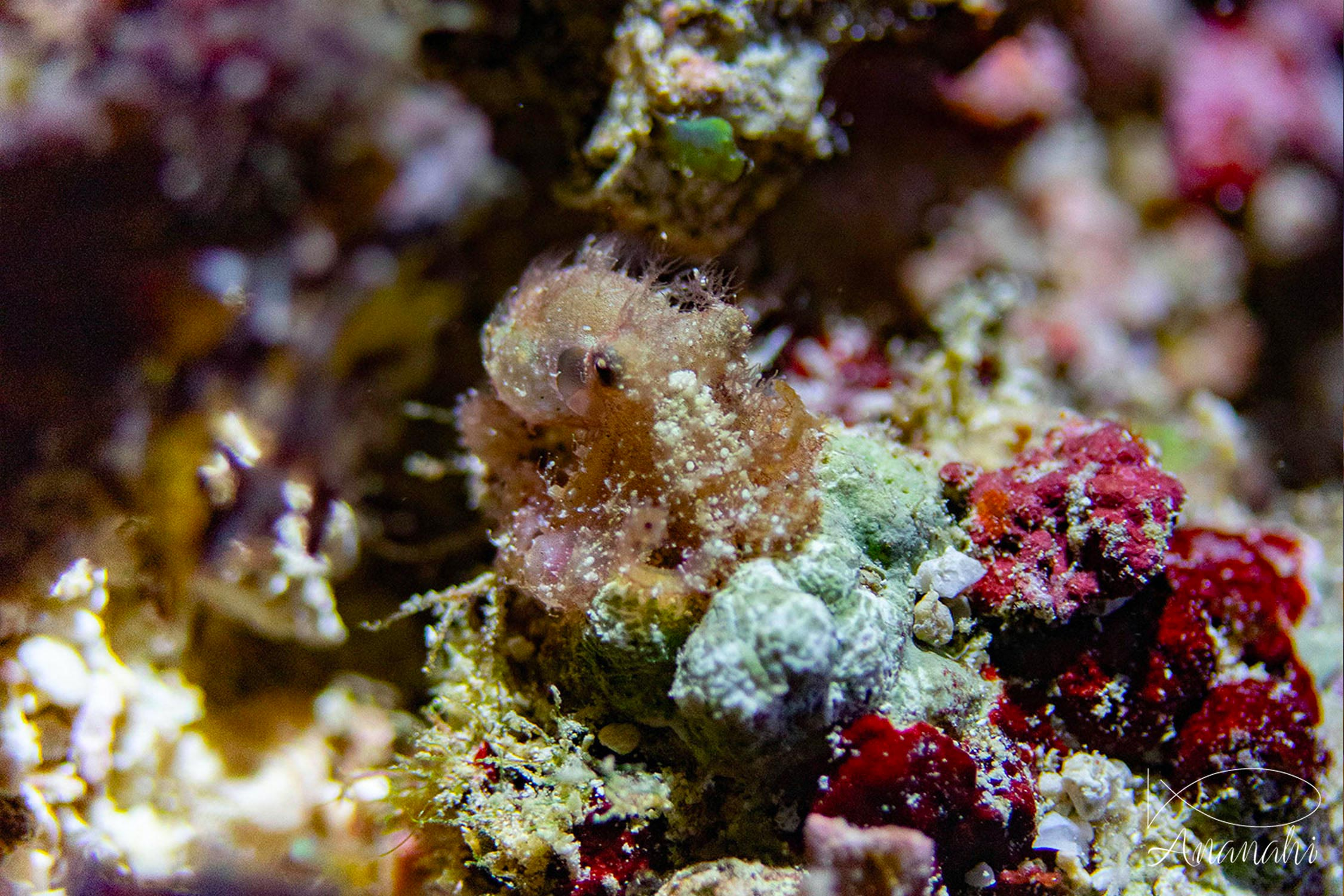 Hairy octopus of Raja Ampat