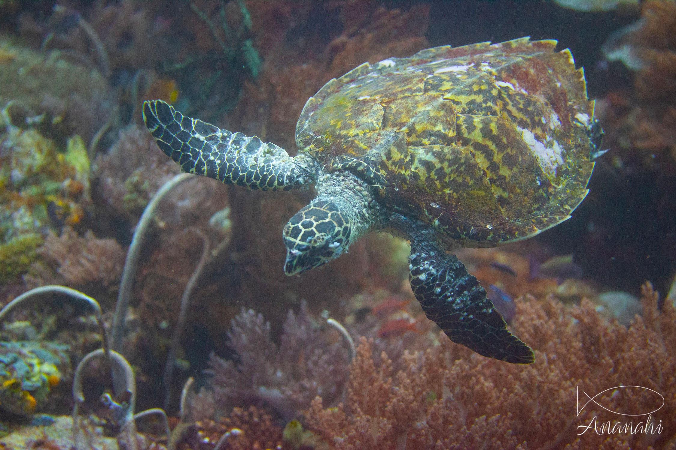 Hawksbill turtle of Raja Ampat