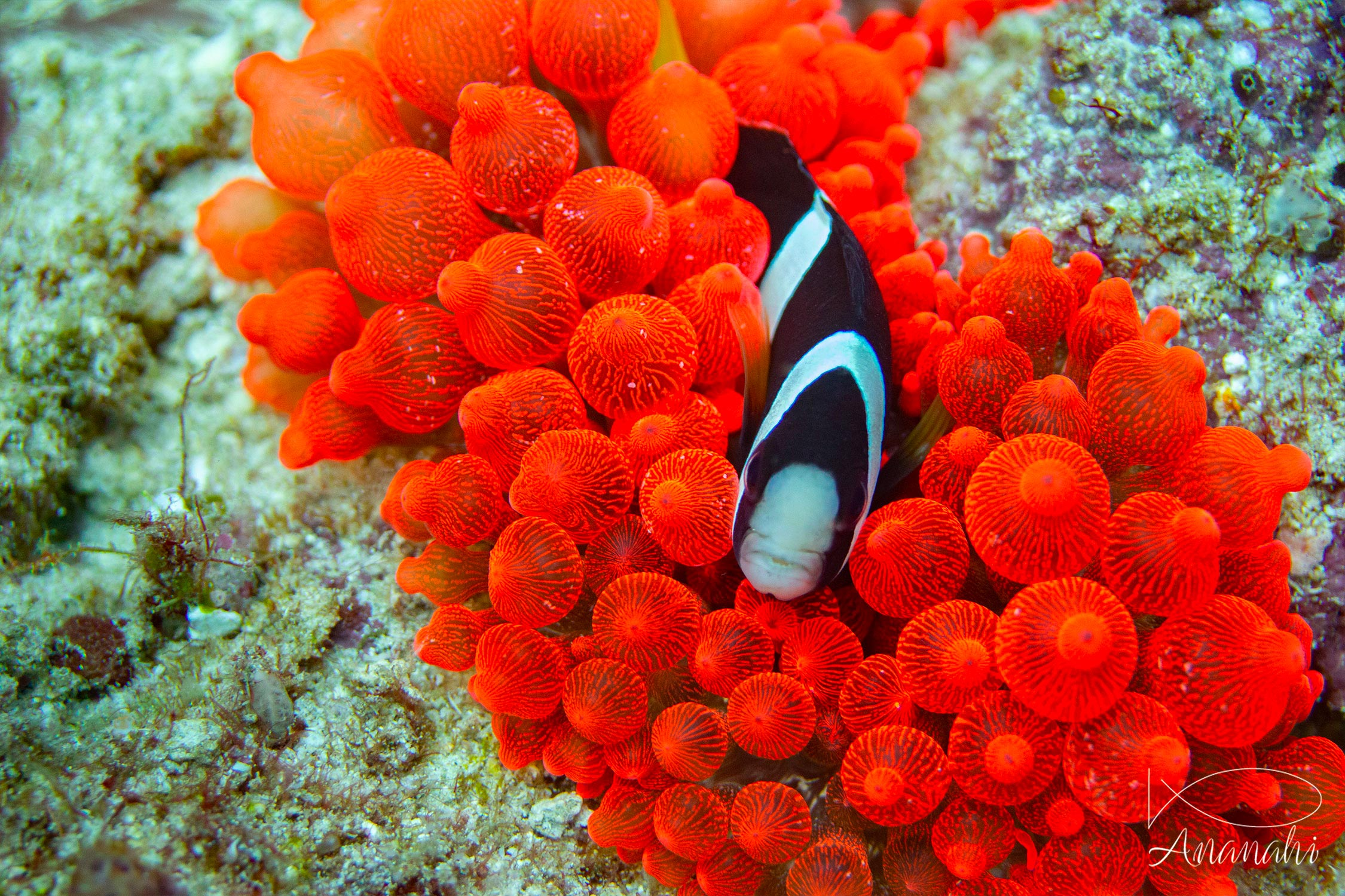 Clark's anemonefish of Raja Ampat