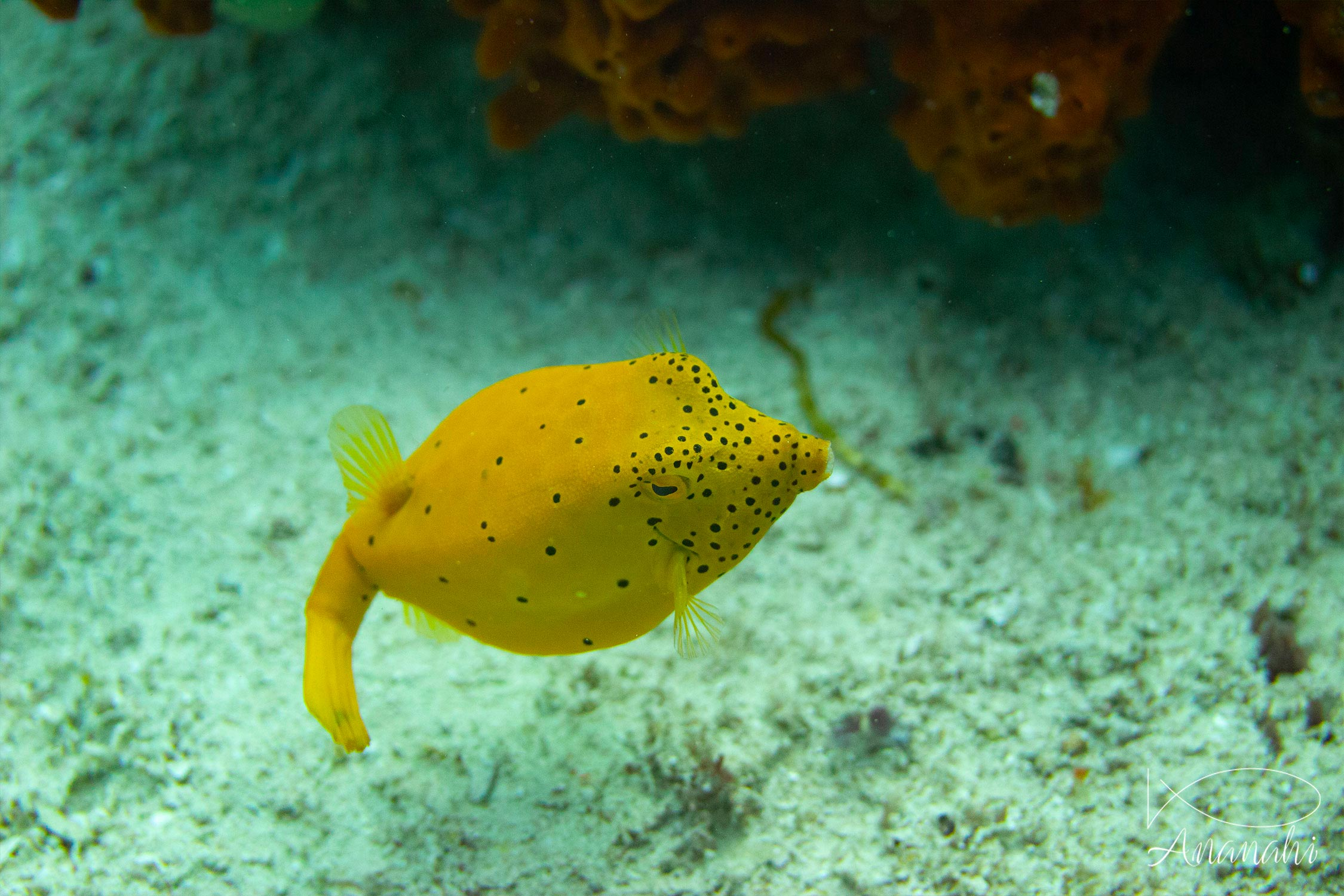 Juvenile yellow boxfish of Raja Ampat