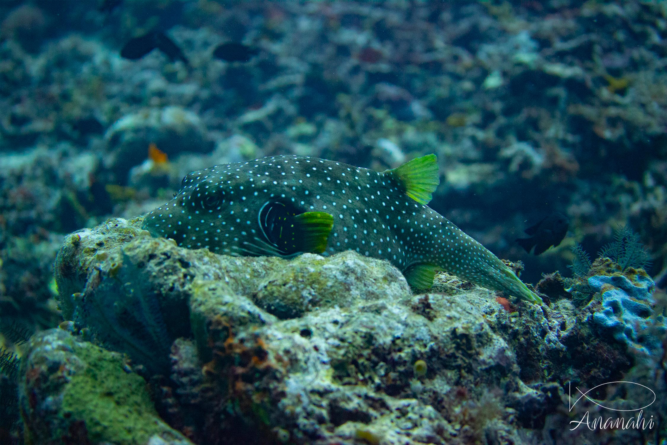 White-spotted puffer of Raja Ampat