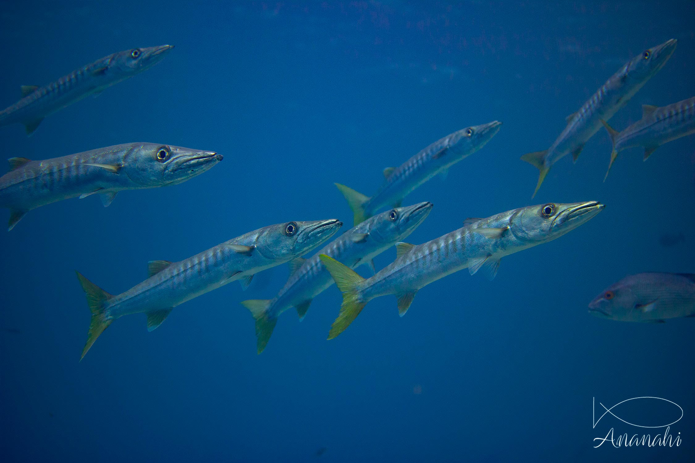 Yellowtail barracuda of Raja Ampat